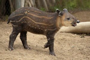 May our love never tapir off