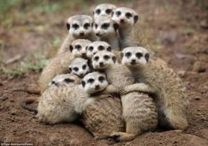 meerkats image011