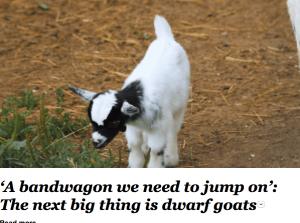Dwarf goats Screen Shot 2021-04-22 at 11.51.09 am